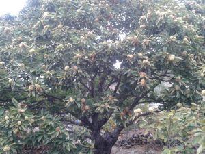 Castaño (www.beegardenmalaga.com)