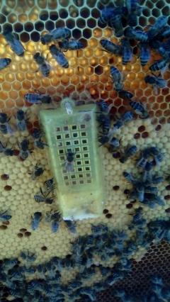 Introducción de Reina Bee Garden